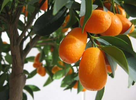 Mandarino cinese: Un frutto poco conosciuto ma dalle importanti proprietà digestive